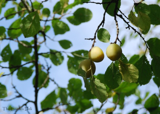Fruit on the tree