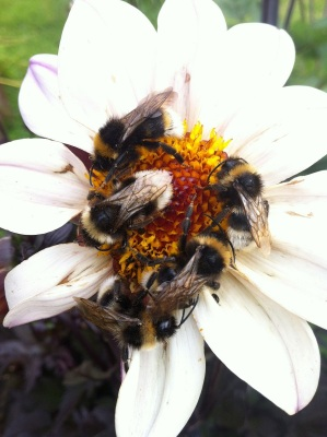 Bees on dahlia